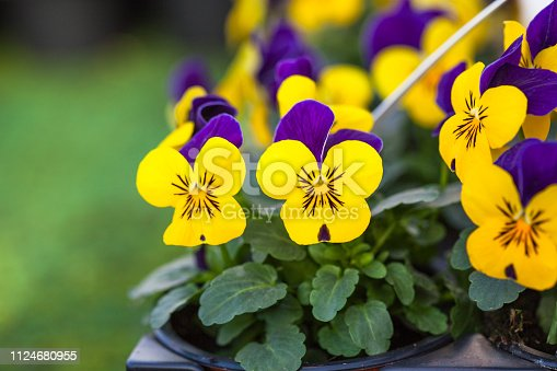istock Pretty colourful violet and yellow flowers of garden pansy seedlings (Viola tricolor) in small pots on sale in garden centre 1124680955