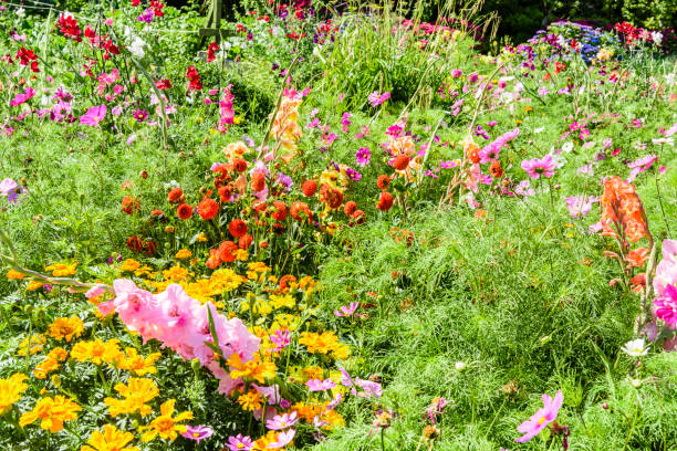Pretty cottage garden growing a variety of annual and biannual native flowers in Ireland stock photo
