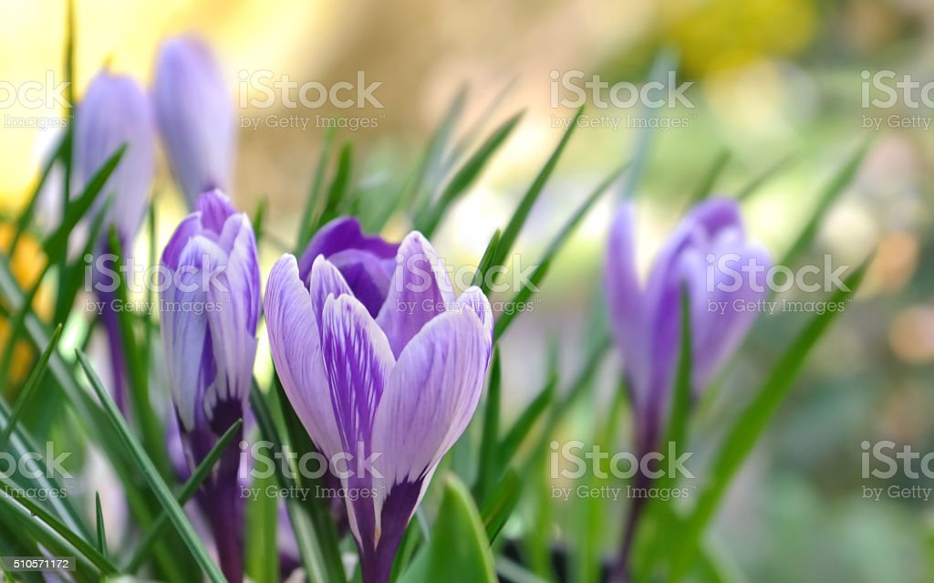 pretty crocus stock photo