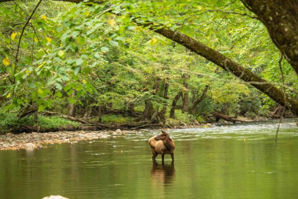 Pretty Elk In River Smoky Mountains stock photo