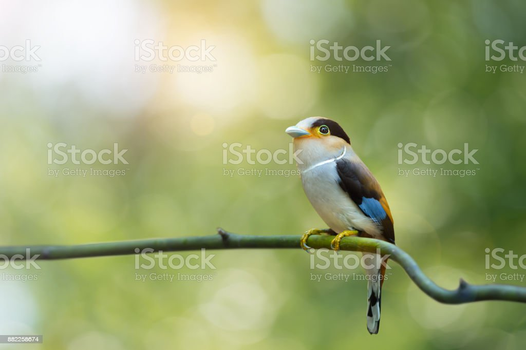 Silver-breasted broadbill resting on twig in tropical forest,...