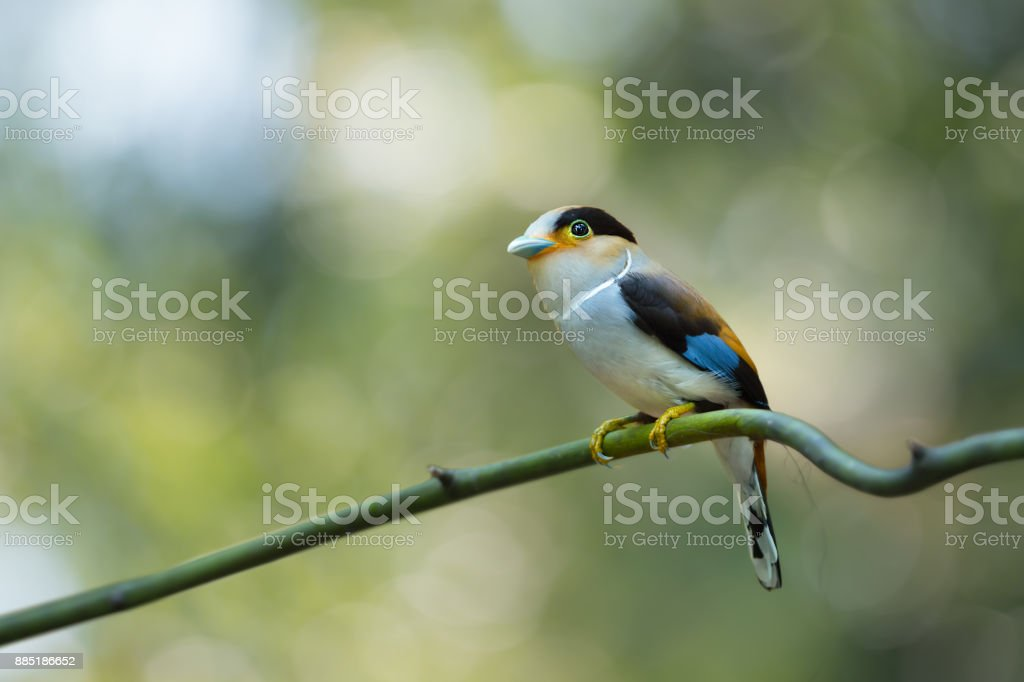 Attractive female bird, Silver-breasted broadbill resting on twig in...