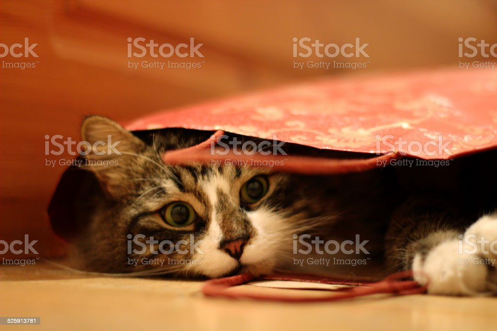 Pretty fluffy cat looked up from gift-wrapping red bag stock photo