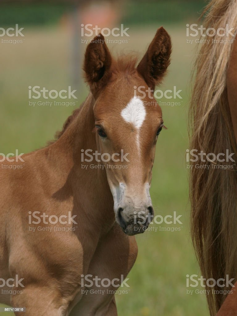 Pretty Foal stock photo