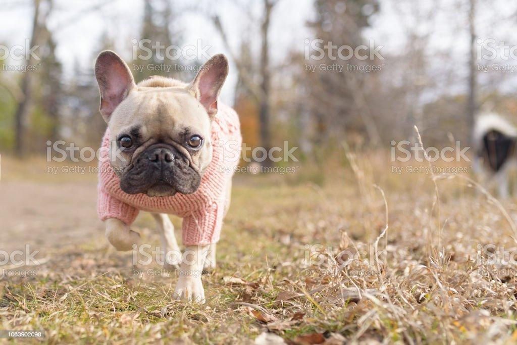 Pretty french bulldog wearing a pink sweater walking towards camera lens stock photo
