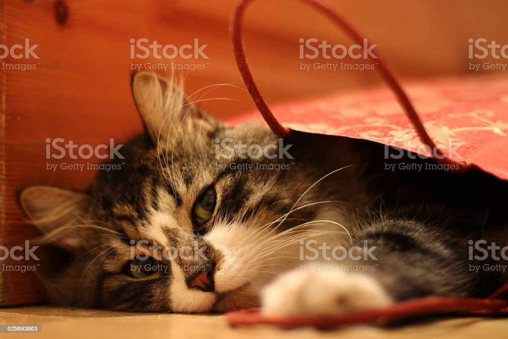 Pretty fuffy cat looking up from gift-wrapping red bag stock photo