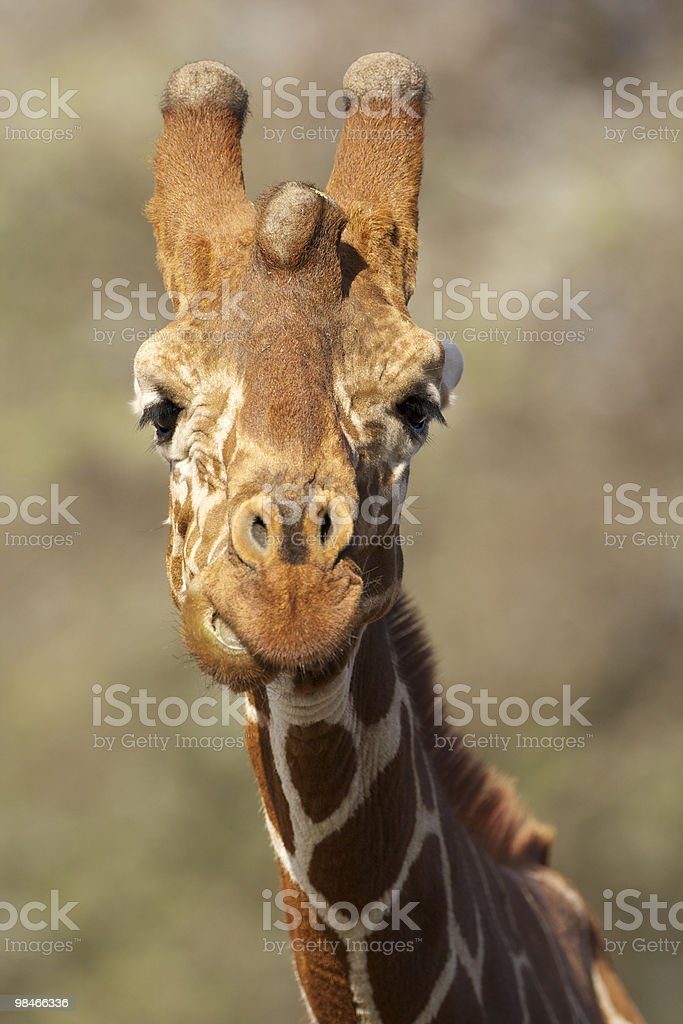 Pretty Giraffe royalty-free stock photo