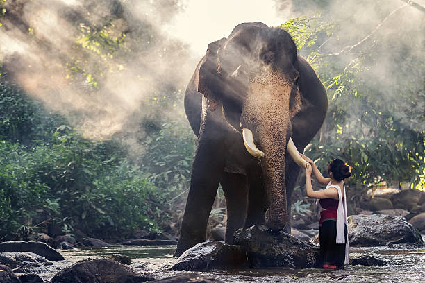 Pretty girl in traditional thai costumes touching elephant's trunk Pretty girl in traditional thai costumes touching elephant's ivory in the Image contains grain and noise due to the high ISO chiang mai province stock pictures, royalty-free photos & images