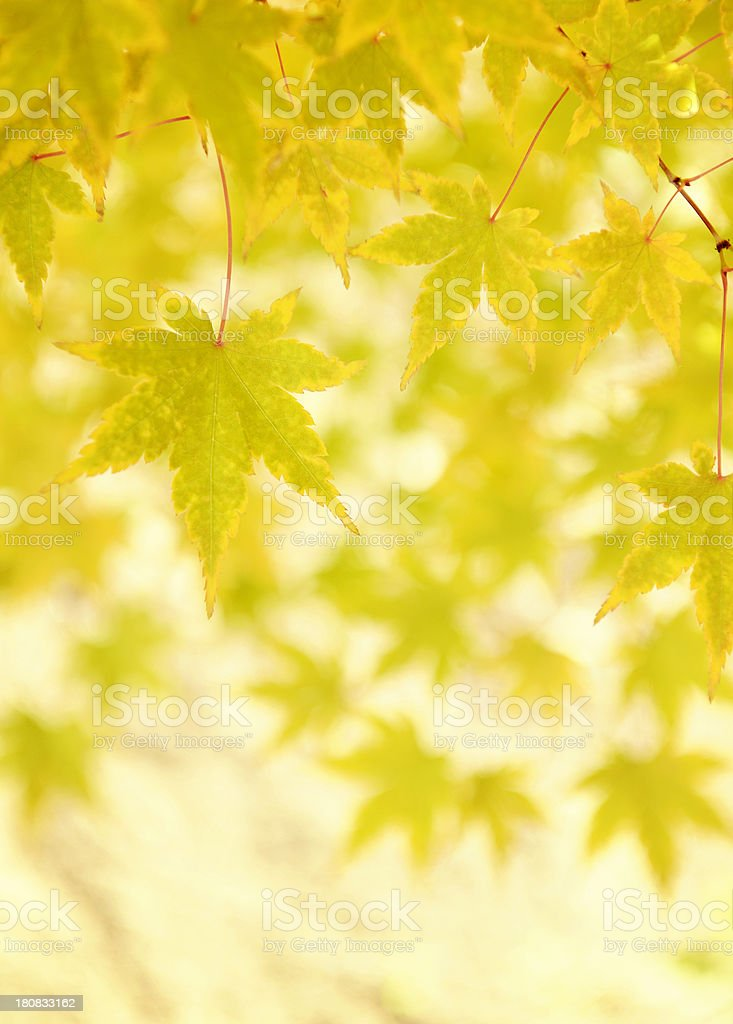 Pretty Green And Yellow Maple Leaves Wearing Their Fall Colors royalty-free stock photo