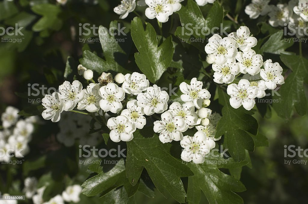 The coming of may blossom royalty-free stock photo