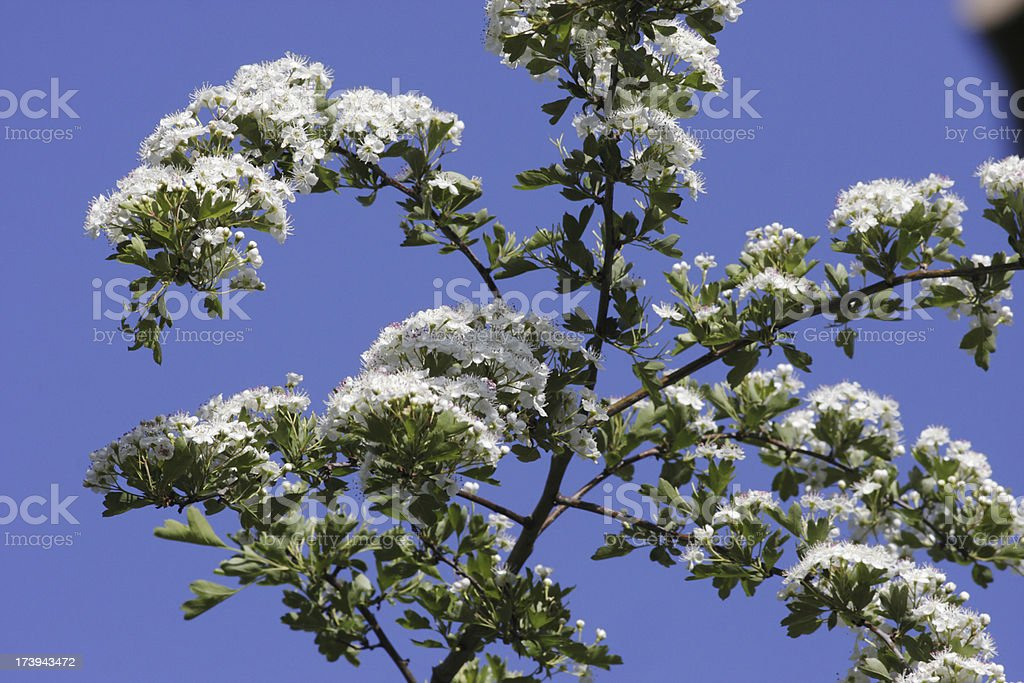 Open white may blossom against a blue sky royalty-free stock photo