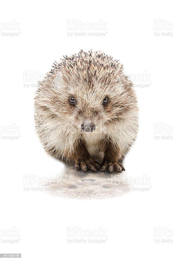Pretty hedgehog stock photo