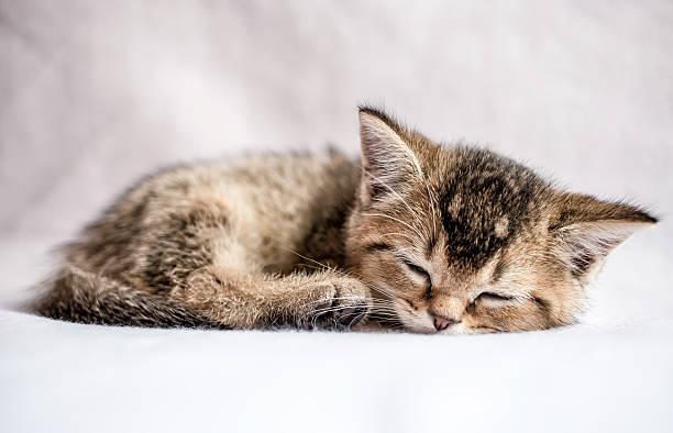 Pretty kitten british golden chinchilla ticked sweetly sleeps picture id533986146?b=1&k=6&m=533986146&s=612x612&w=0&h=lxcrygrenw4ol grj46wisbe8oohrc5ydk6haqvkzgs=