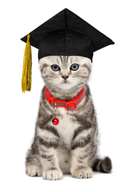 Pretty kitten in a graduation cap isolated on white stock photo