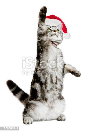 A DSLR photo of a pretty kitten (british shorthair) in a santa hat standing as a human with one paw up (as if showing something). Isolated on a white background.