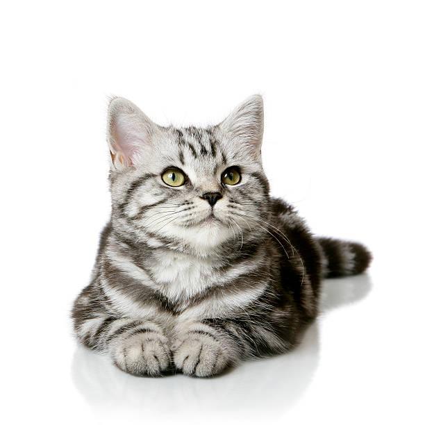Pretty kitten isolated on white picture id538798198?b=1&k=6&m=538798198&s=612x612&w=0&h=4y1tp11edwt8xp2cvwhhve gzd9wxwobegqvavow7hk=