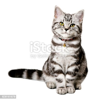 A DSLR photo of a pretty kitten (british shorthair) isolated on a white background.