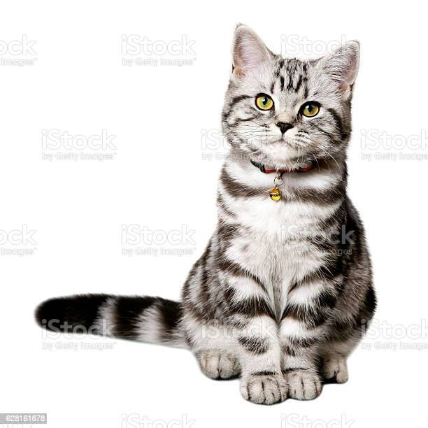 Pretty kitten isolated on white picture id628161678?b=1&k=6&m=628161678&s=612x612&h=2au4tsxzw22mwle8sf8ovcsdhug5k4w3ep ipsghzoi=