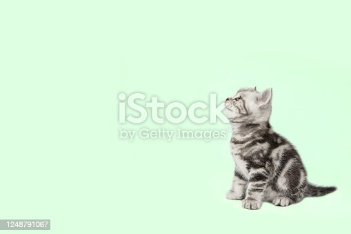 Pretty kitten (british shorthair cat) on a green background. Side view, space for copy.