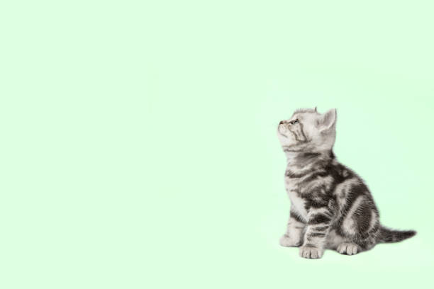 Pretty kitten (british shorthair) on a green background with copy space. stock photo