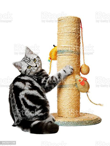 Pretty kitten on a scratching post picture id542331236?b=1&k=6&m=542331236&s=612x612&h=gbcmzhq3gcm4arsjc3ql8bjtdugqy40gn2p8gqhzo34=