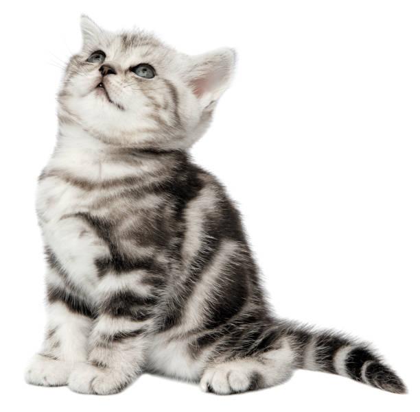 Pretty kitten (british shorthair) on a white background stock photo