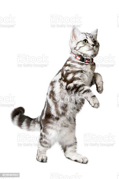 Pretty kitten walking on its hind legs picture id628580552?b=1&k=6&m=628580552&s=612x612&h=sfzfmhfqzbb0iyk2mjcdfgzmwufbwb29tlsyr 1wpmy=