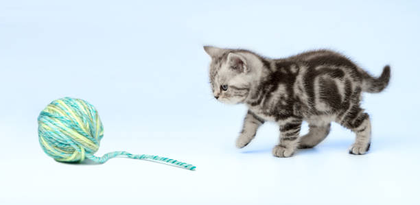 Pretty kitten (british shorthair) with a ball of wool on a blue background. stock photo