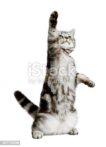 A DSLR photo of a pretty kitten (british shorthair) standing as a human with one paw up (as if showing something). Isolated on a white background.