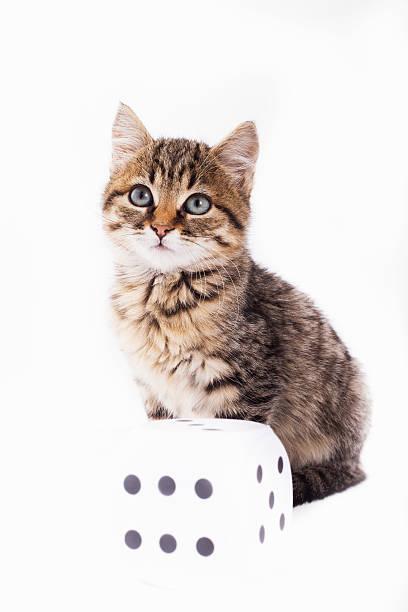 pretty kitty and dice - grau getigerte katzen stock-fotos und bilder