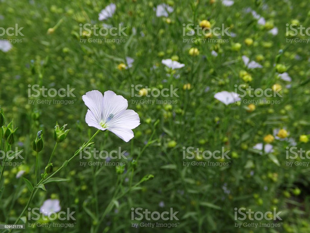 Pretty Little Flower Stock Photo 529121778 Istock