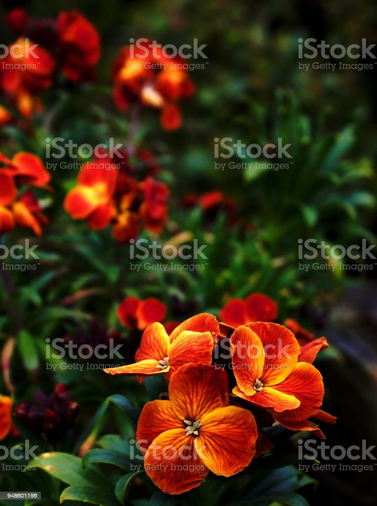Pretty Little Orange Flowers Stock Photo More Pictures Of