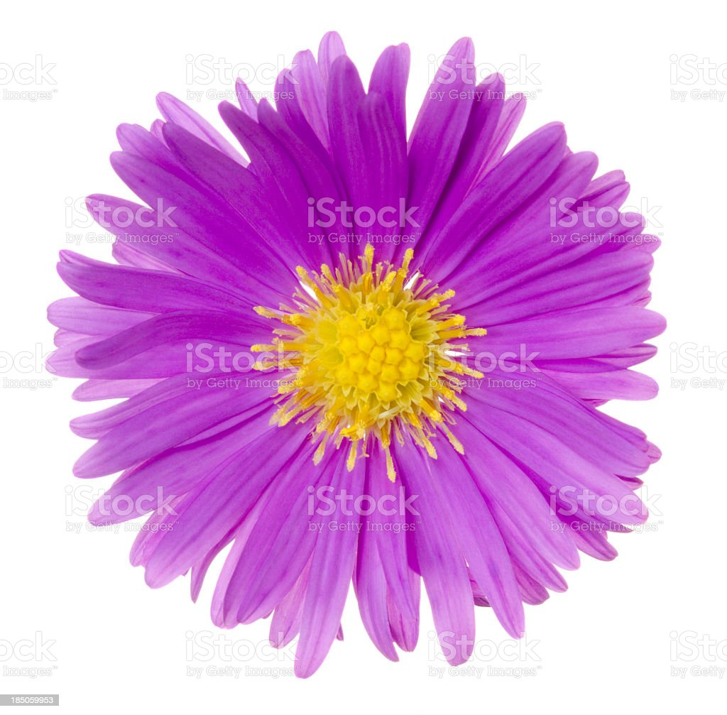 Pretty magenta aster flower flattened on white stock photo