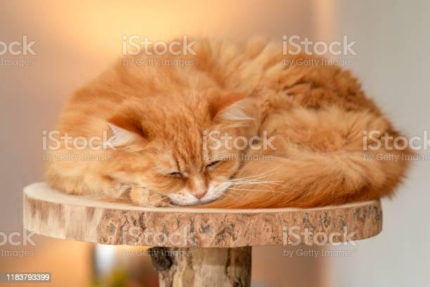 Pretty main coon hybrid cat sleeps on cats climbing tree platform picture id1183793399?b=1&k=6&m=1183793399&s=612x612&h=ebs e3uozatr1vddyav2wb4jnknauzu0wjdi6mvgx5e=