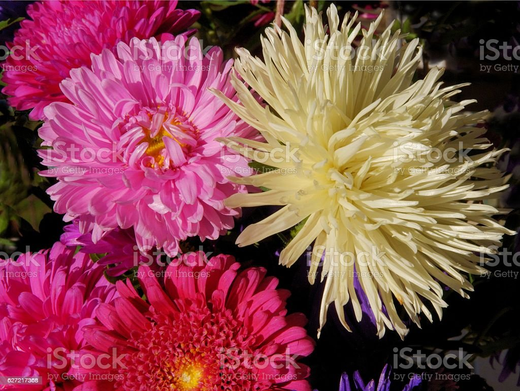 pretty multicolor asters stock photo