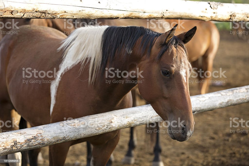 Pretty Paint Ranch Horse In Corral stock photo