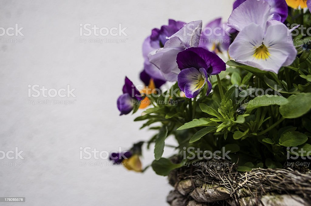 pretty pansies in a basket royalty-free stock photo
