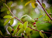 View of parrot in garden feeding on Guava fruit on tree branch during day time