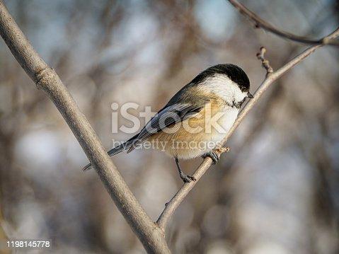 Mésange perchée sur une branche défoliée en hiver.