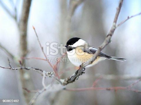 Mésange perchée sur une branche défoliée en hiver.h