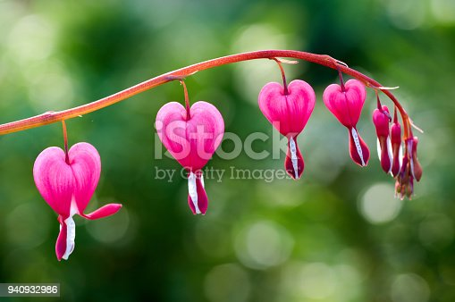 Close up of a cluster of bleeding hearts growing in the spring.Dicentra spectabilis in the garden
