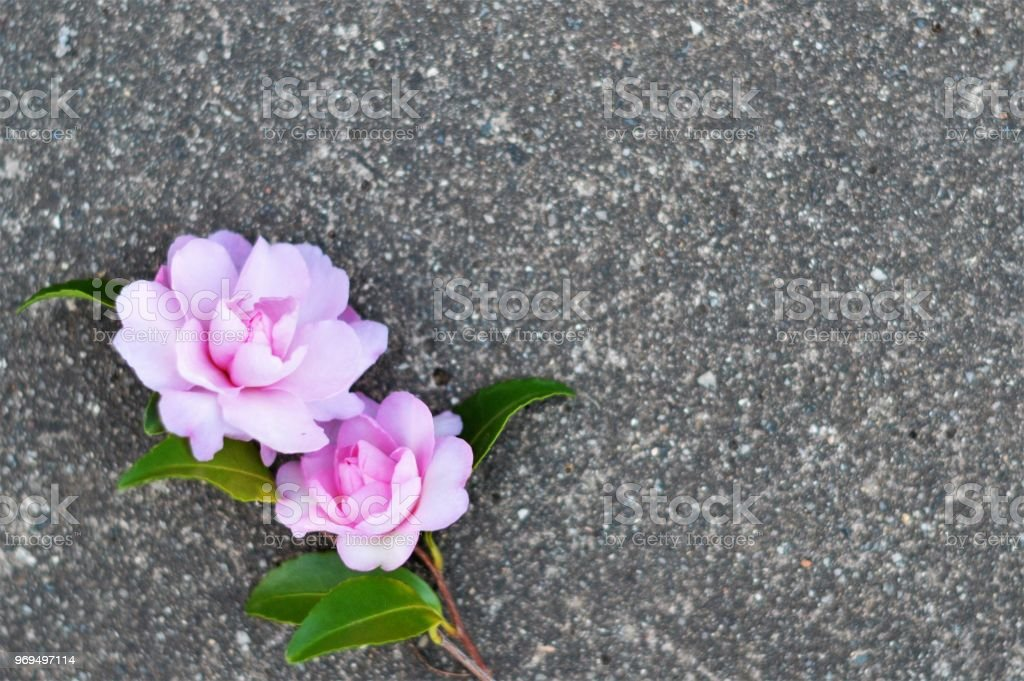 Pretty pink flowers with concrete background stock photo