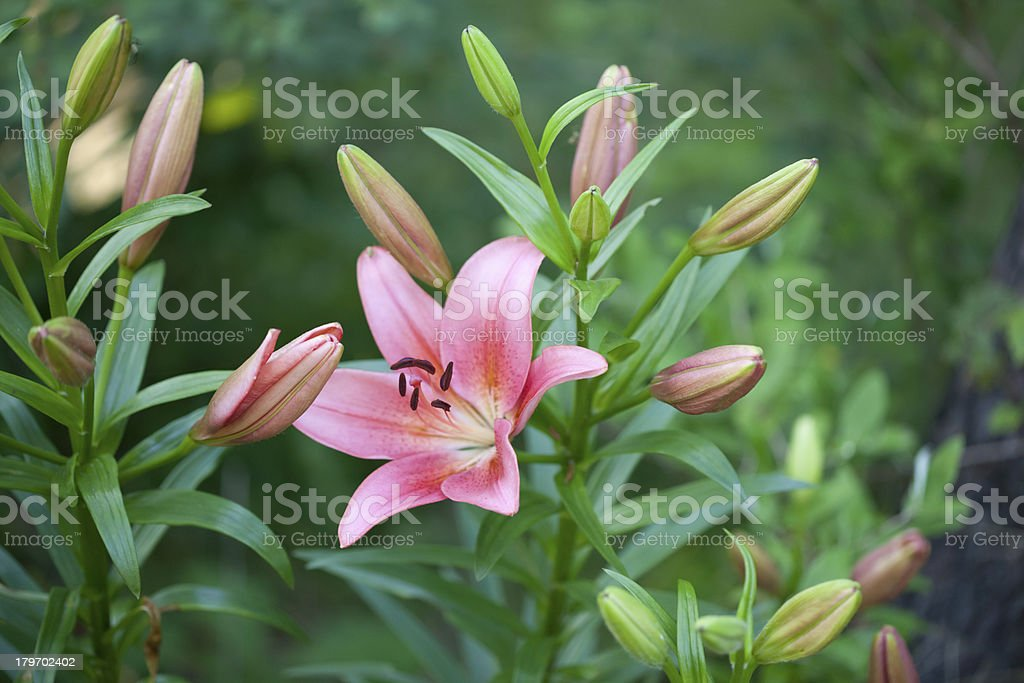 Pretty Pink Lillies royalty-free stock photo