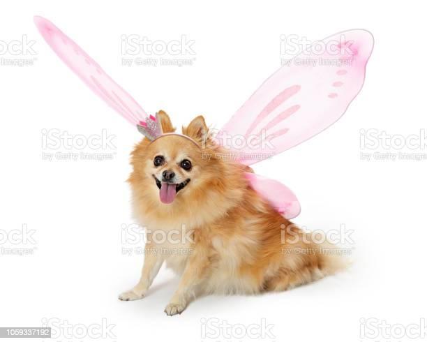 Pretty pomeranian dog wearing fairy costume picture id1059337192?b=1&k=6&m=1059337192&s=612x612&h=mthrfo6i5e8ee fx7ukcech4fzwlv4elv kylu4l4gw=