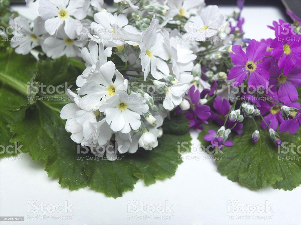 Pretty Primula royalty-free stock photo