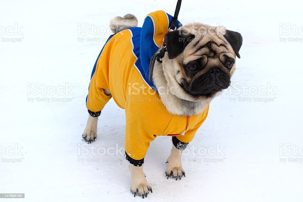Pretty pug-dog in winter outerwear. royalty-free stock photo