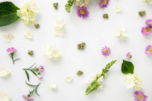 Pretty Purple Daisy Spring Flowers Floral Cannabis Background Wallpaper with Marijuana Nugs or Buds - Top Down Close Up stock photo