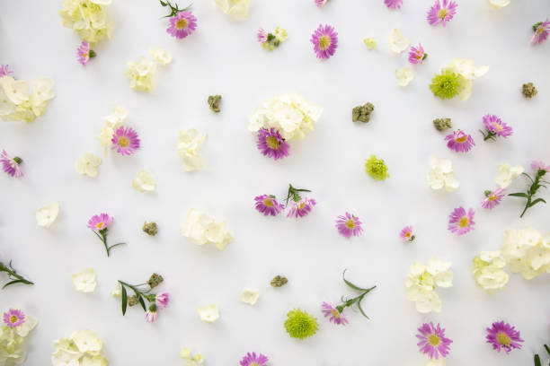 Pretty Purple Daisy Wild Flowers Floral Cannabis Background Wallpaper with Marijuana Nugs or Buds - Top Down stock photo