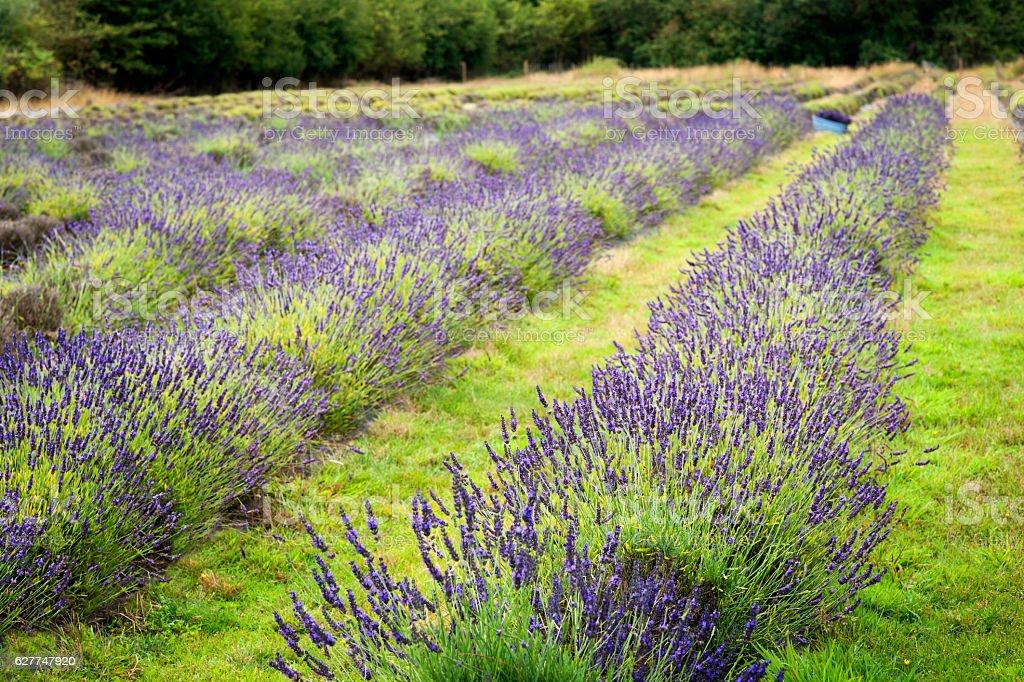 Pretty purple Lavender fields stock photo