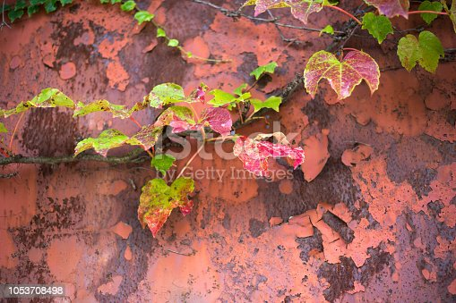 Pretty red and green autumn ivy leaves against a distressed red metal door. Copy space available.